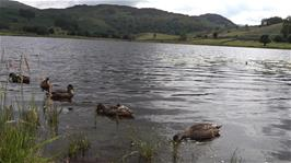 Michael carries out a 4K duck study at Watendlath Tarn